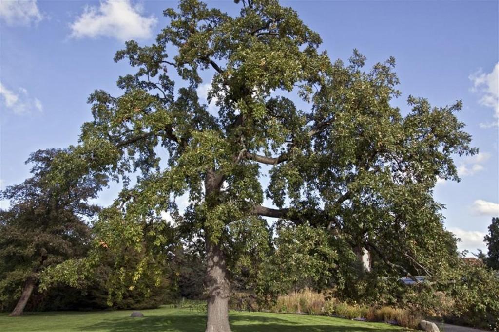 Quercus_pyrenaica