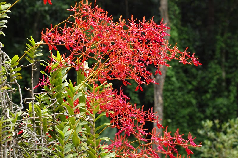 Renanthera-coccinea
