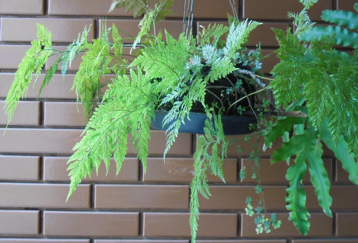 Bonsai e Samambaias  PlantaSonya  O seu blog sobre cultivo de