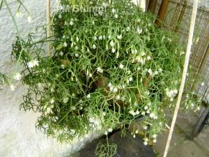 Rhipsalis neves-armandii