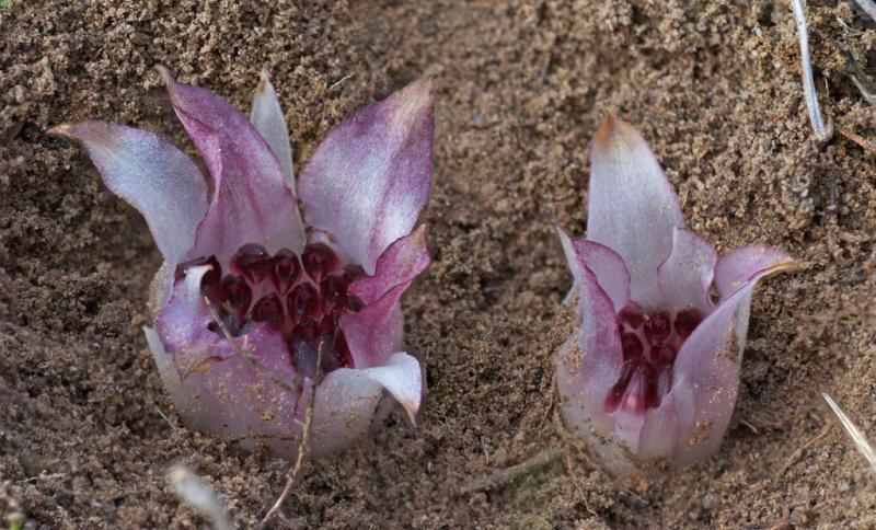 Rhizanthella gardneri