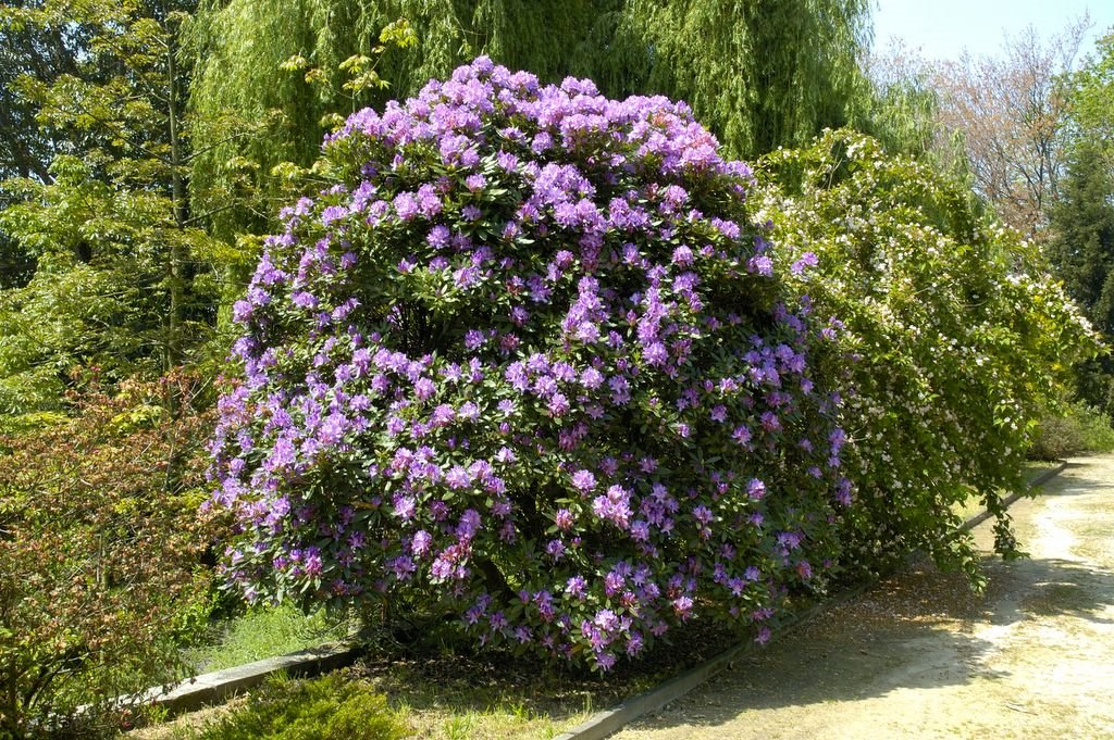 Rhododendron-ponticum-1
