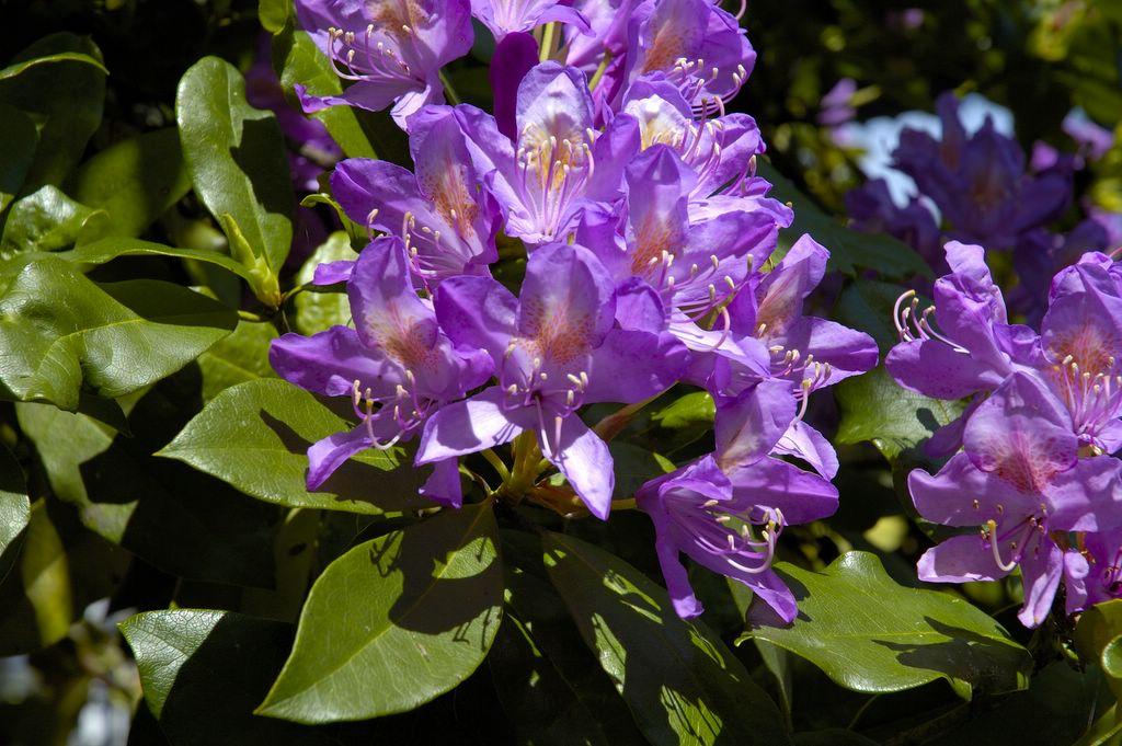 Rhododendron-ponticum-2