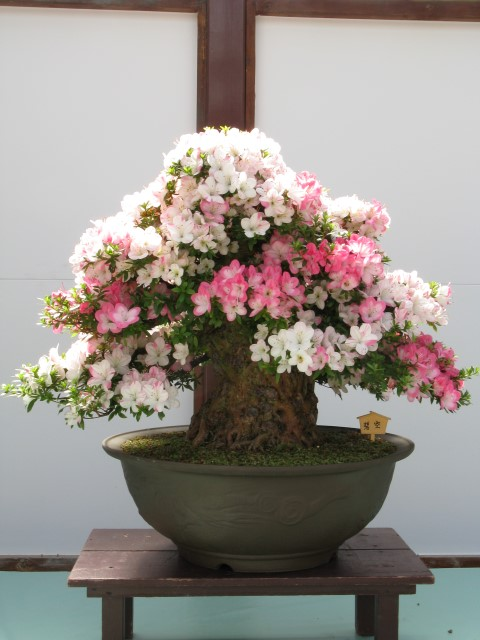Rhododendron_indicum