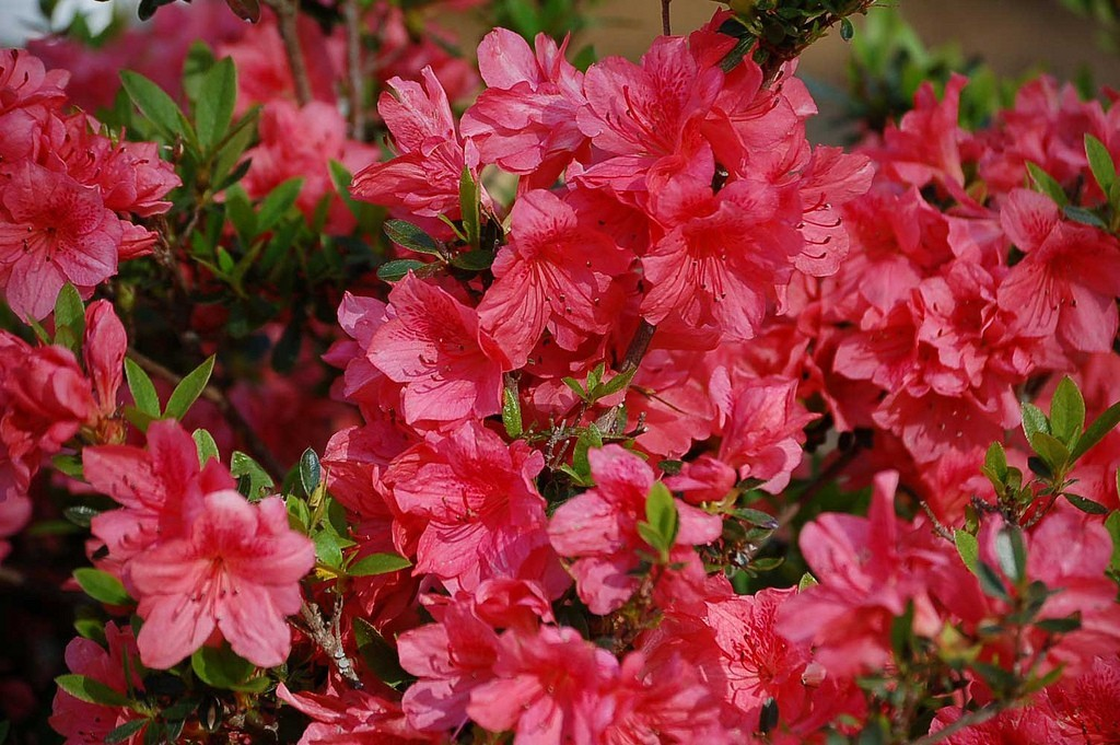 Rhododendron_uu