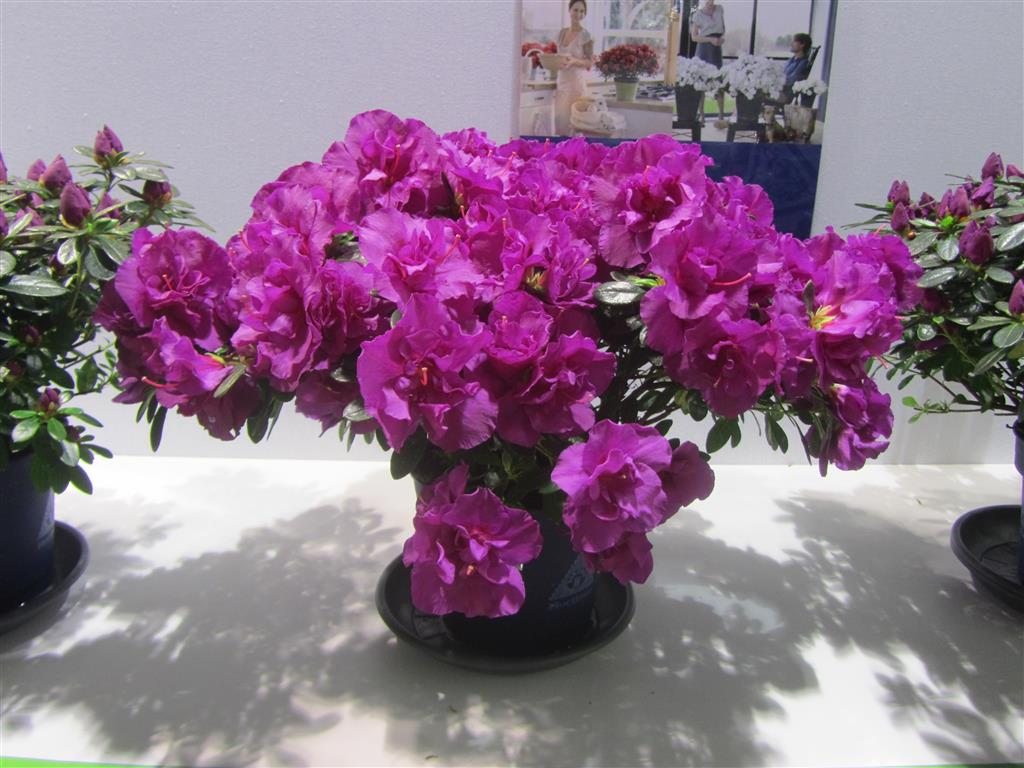 Rhododenron-simsii-2