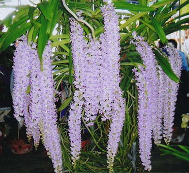 Rhynchostylis Retusa Beauty