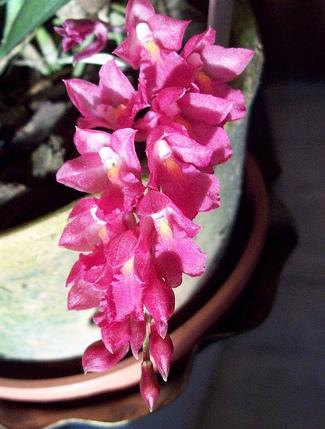 Rodiguesia lanceolata