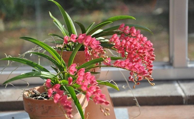 Rodriguezia lanceolata Lind