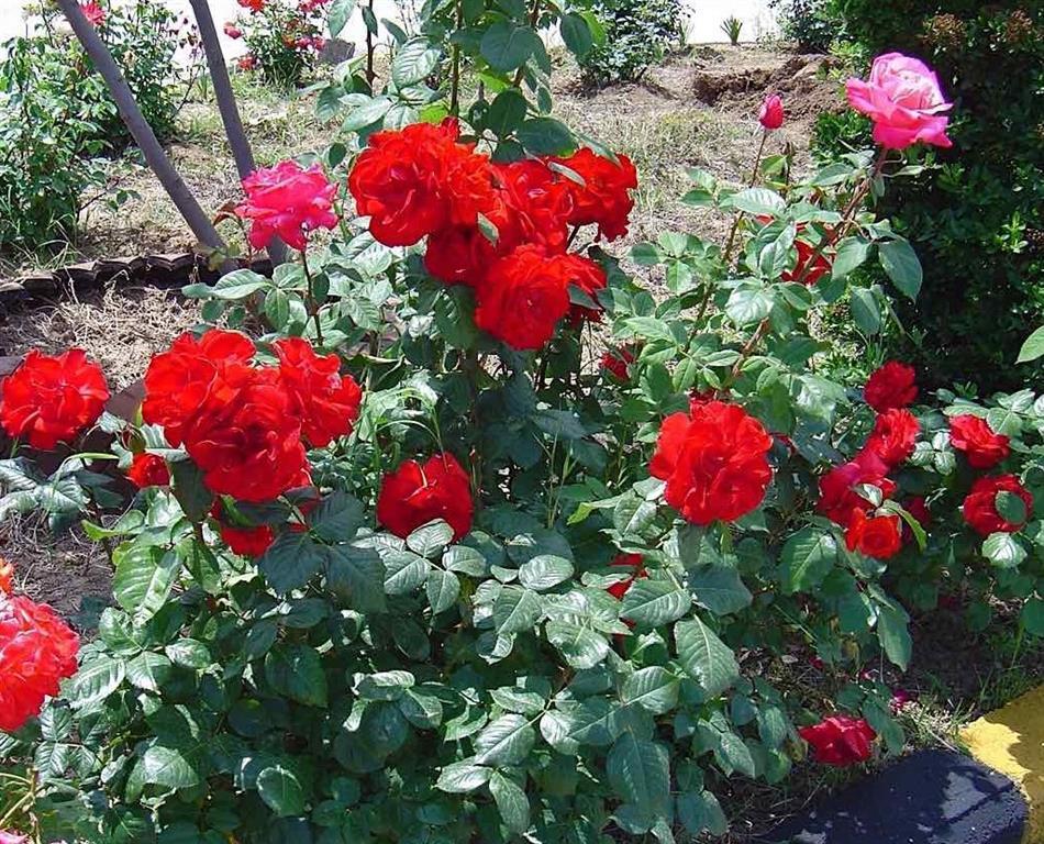 Rosa-Sempre-floridas