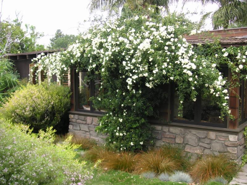 Rosa banksia white