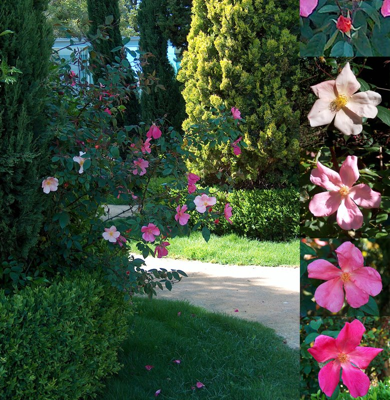 Rosa chinensis 'Mutabilis'
