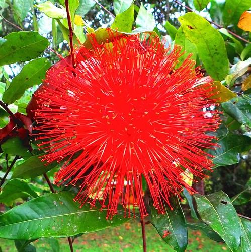 Rosa-da-montanha (Scarlet flame)