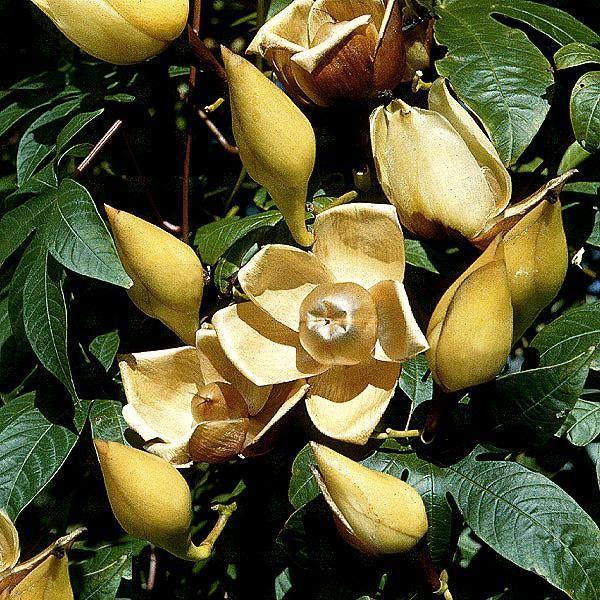 Rosa de Madeira – Ipomoea tuberosa