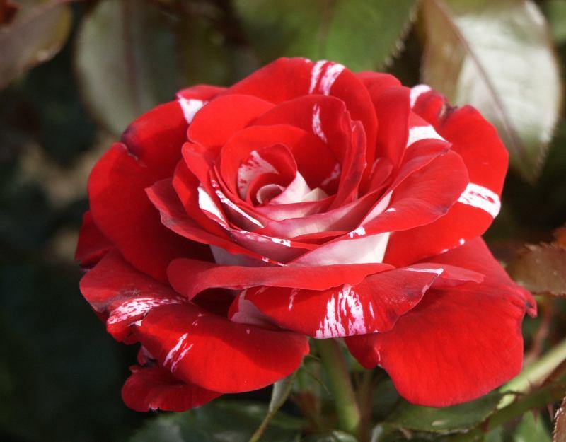 Rosa grandiflora Rock & Roll