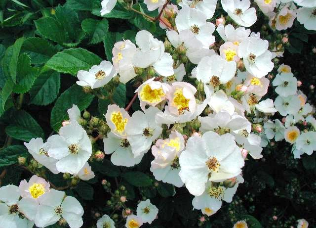 Rosa-multiflora