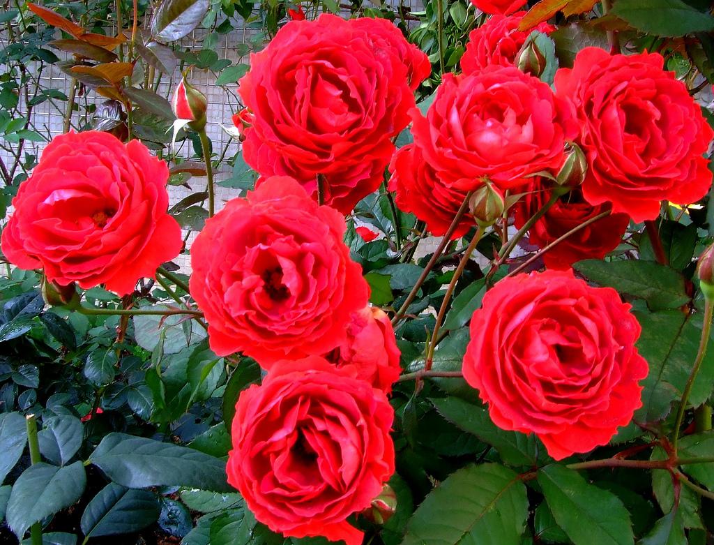 As mini rosas plantasonya o seu blog sobre cultivo de for Pianta rosa