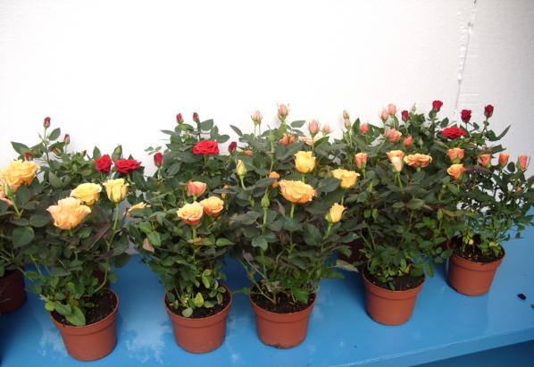 Rosas-Mini