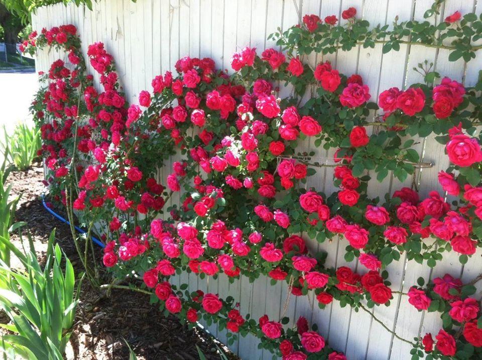 Roseira trepadeira (Rosa x wichuraiana)