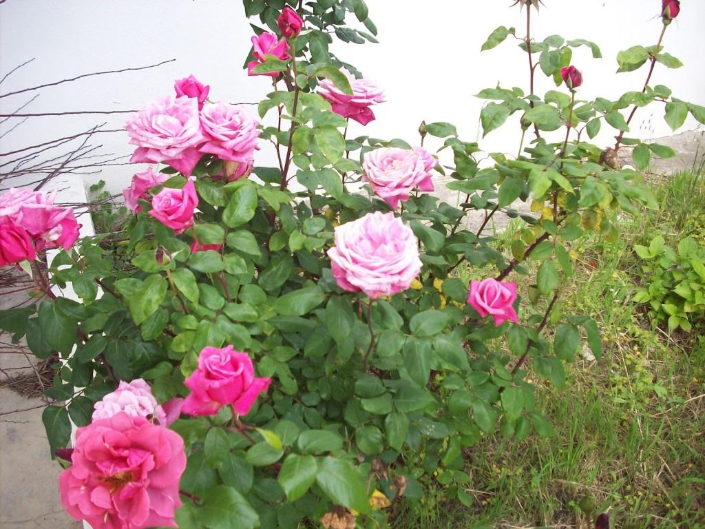 Roseiras Flower Carpet
