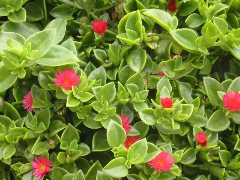 Rosinha De Sol - Aptenia Cordifolia