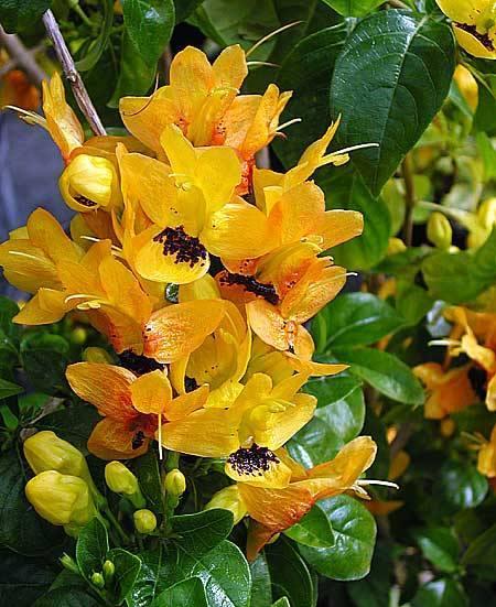 Ruttya Fruticosa1