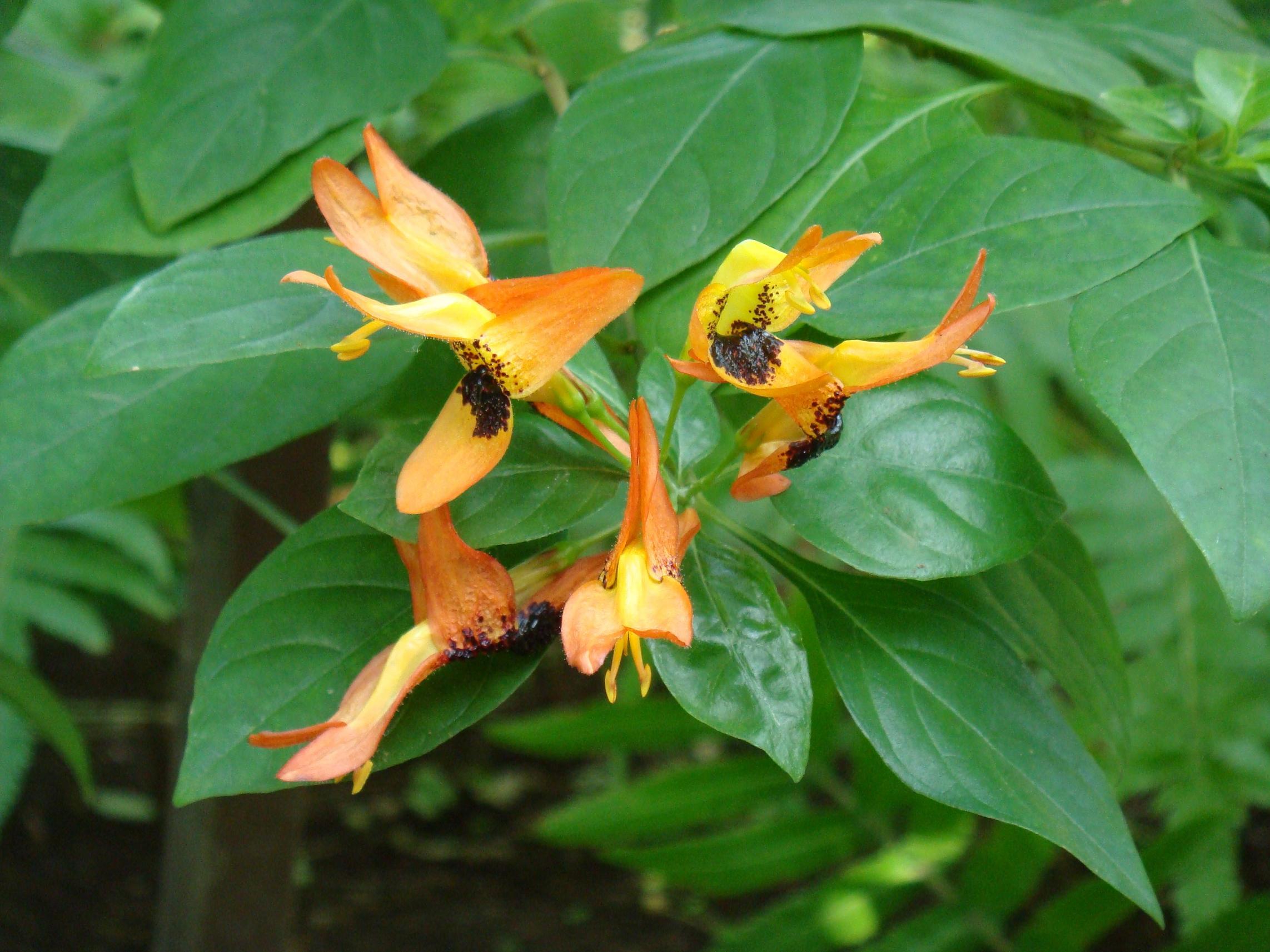 Ruttya fruticosa Lindau