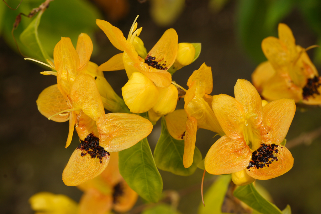 Ruttya fruticosa-amarela