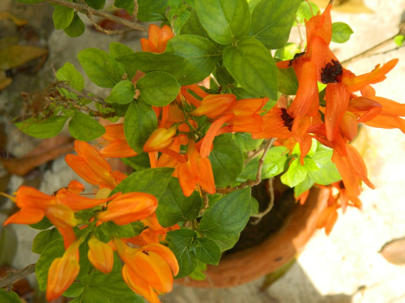 Ruttya fruticosa