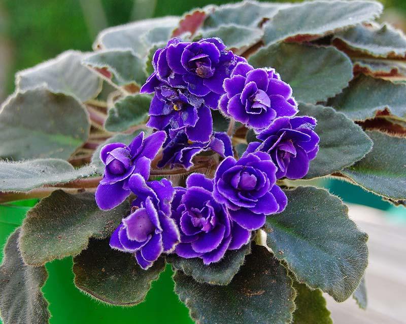 Saintpaulia-Ionantha-Hybrid-Blue