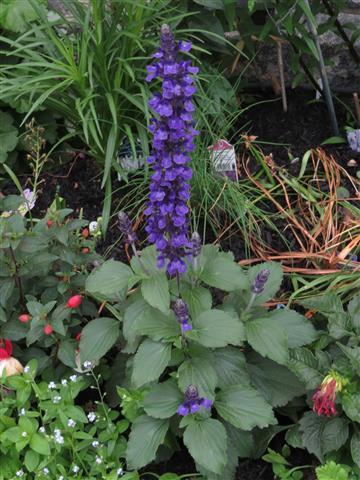 Salvia farinácea)