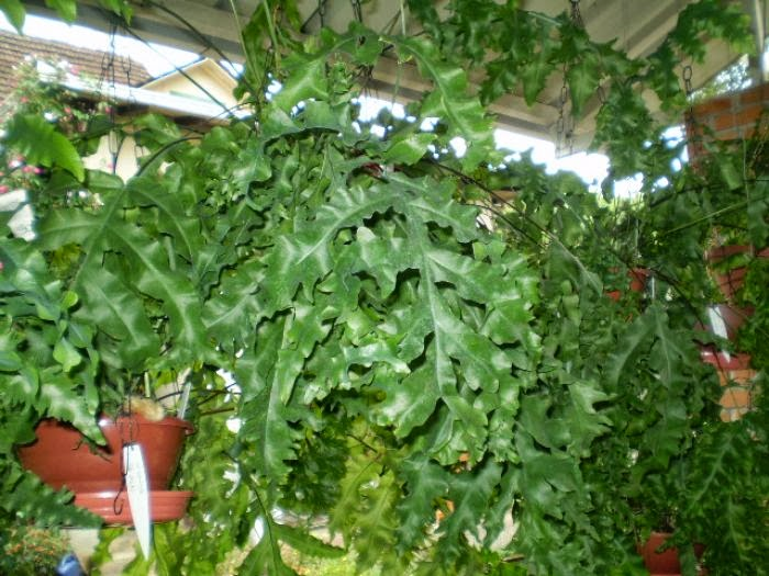 Samambaia amazonas (Polypodium decumanum)