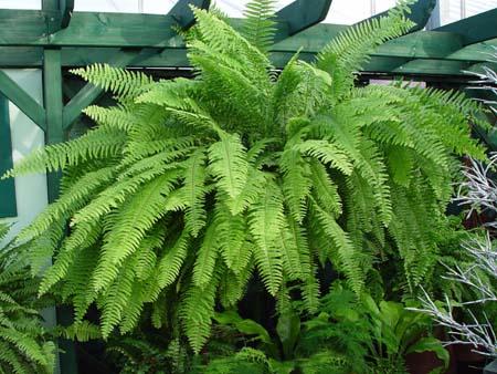 Samambaia americana (Nephrolepis-Exaltata)