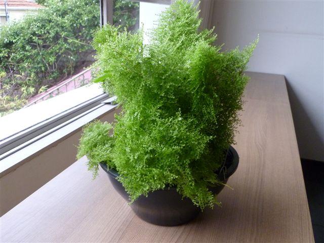 Samambaia-cabelo-de-vênus