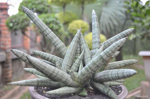 Sansevieira cylindrica