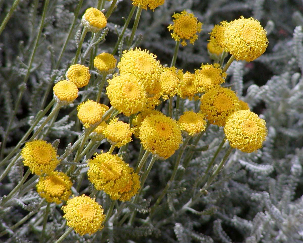 Santolina_chamaecyparissus_flores