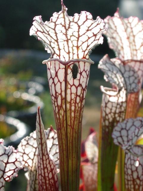 Sarracenia leucophylla-2