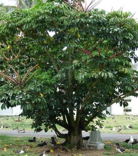 Schefflera-actinophylla