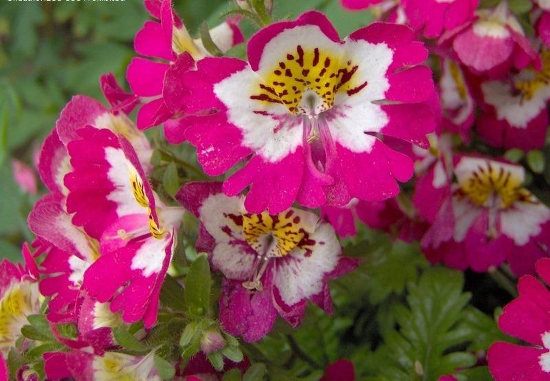 Schizanthus pinnatus2