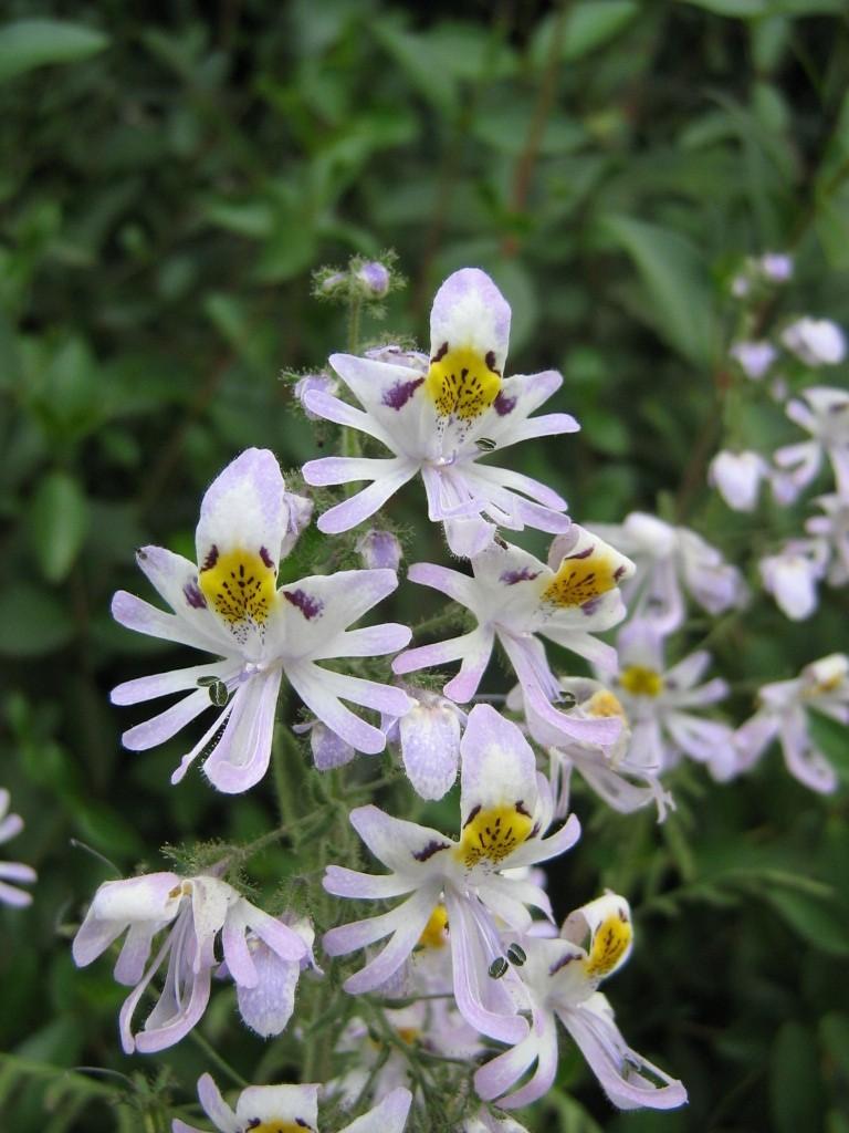 Schizanthus_pinnatus