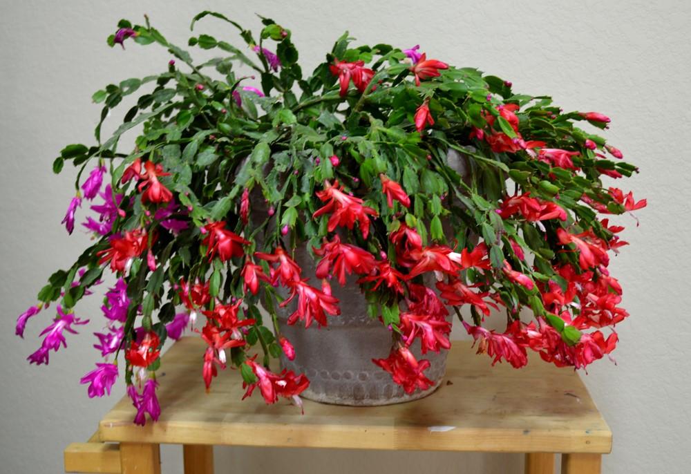 Schlumbergera truncata11
