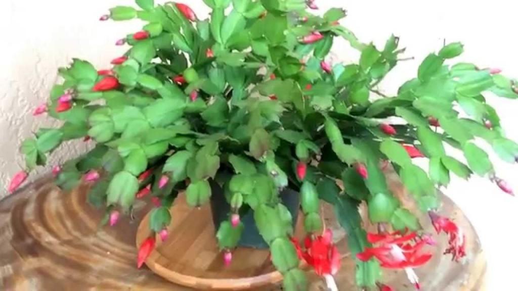 Schlumbergera-truncata1
