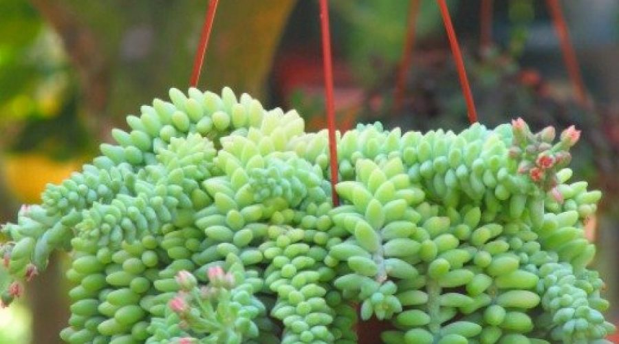 Sedum-rubrotinctum