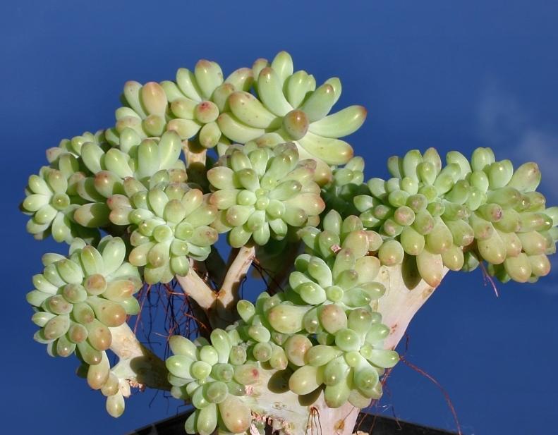 Sedum_pachyphyllum_cristata
