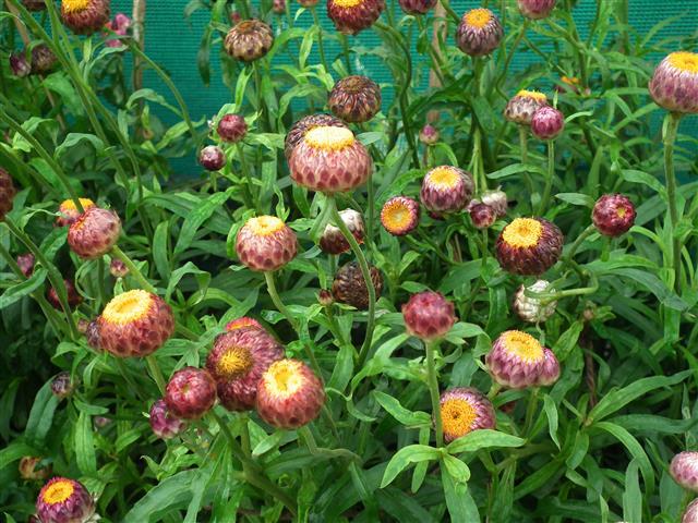 Sempreviva Helichrysum_bracteatum