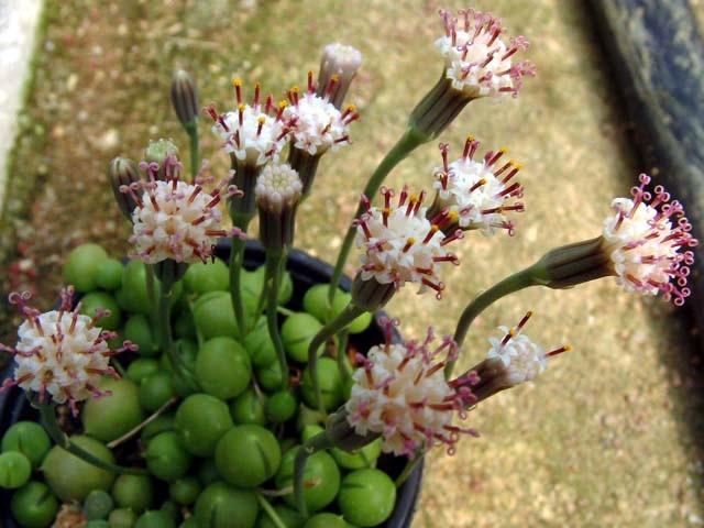 Senecio-rowleyanus flores