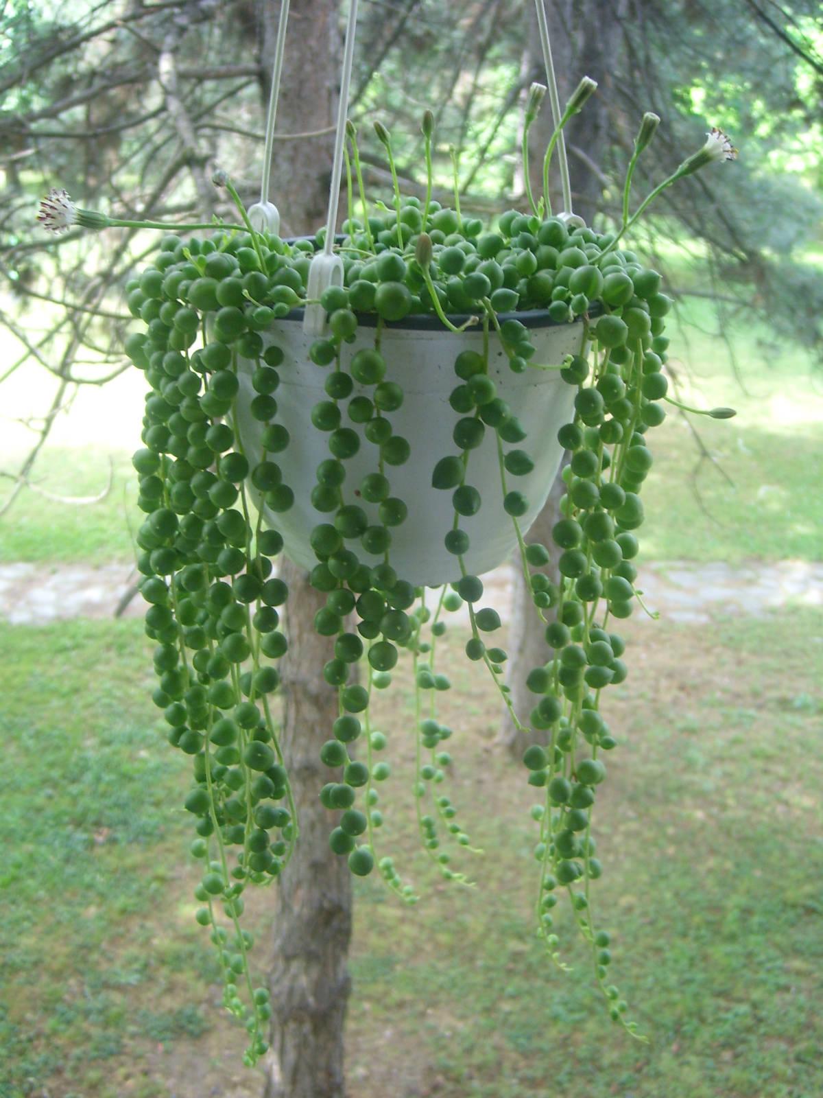 Como cuidar do colar de p rolas senecio rowleyanus for Lilium in vaso