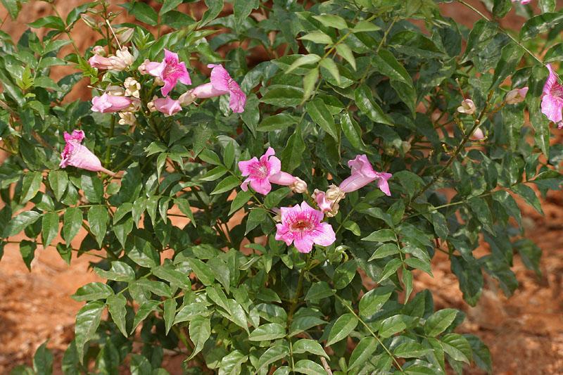 Ornamentais  PlantaSonya  O seu blog sobre cultivo de plantas e