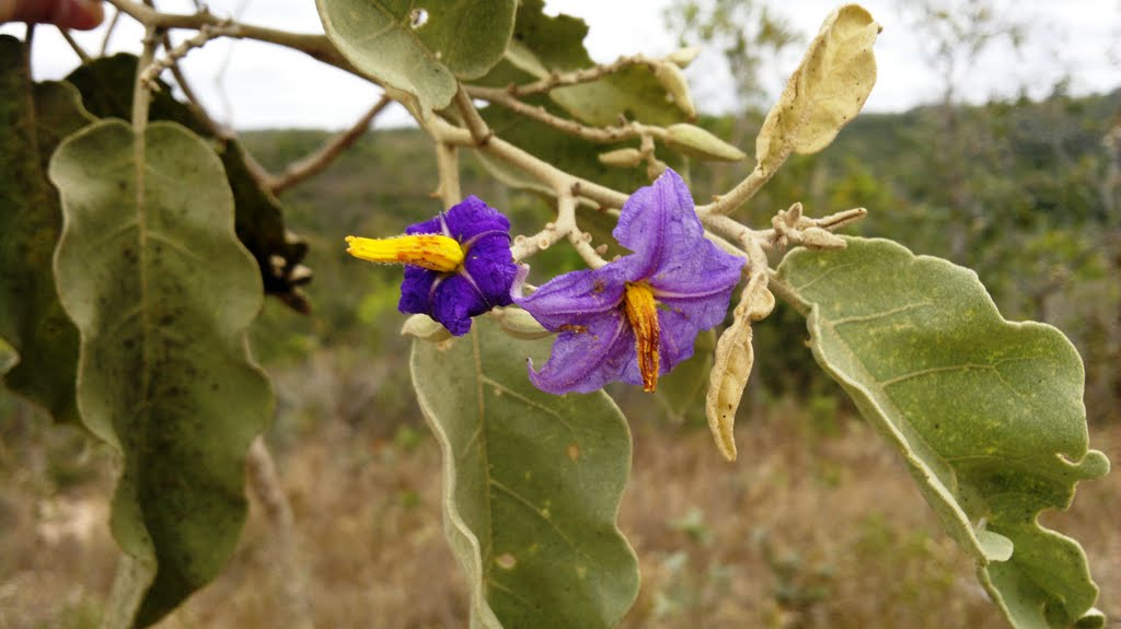 Solanum lycocarpum)