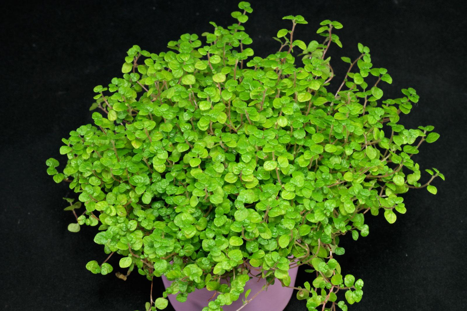 Soleirolia-soleirolii-1